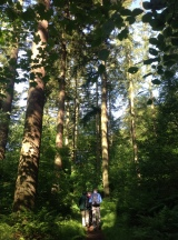 Some of the Douglas fir and other broadleaves in this wood.