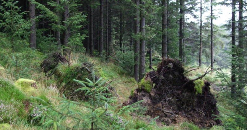 Upland transformation in Sitka spruce in Wales.