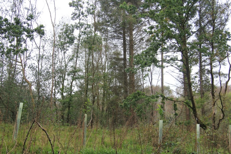 In an area of conifers, careful thinning has created a perfect site to encourage the regeneration of Oak and other native species