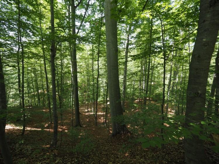Beech forest in Mihăești