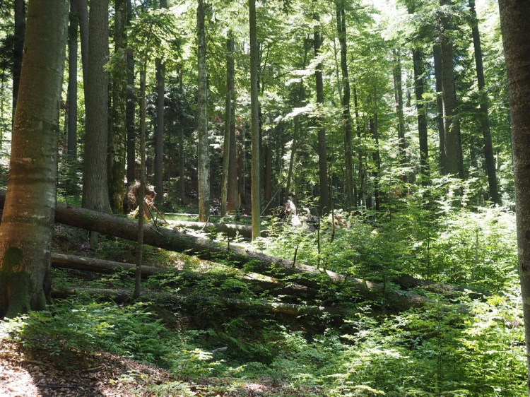 Sinca virgin forest
